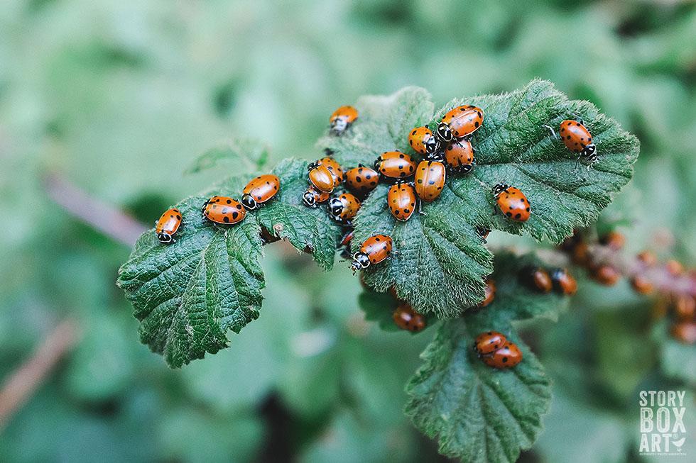 storyboxart ladybug