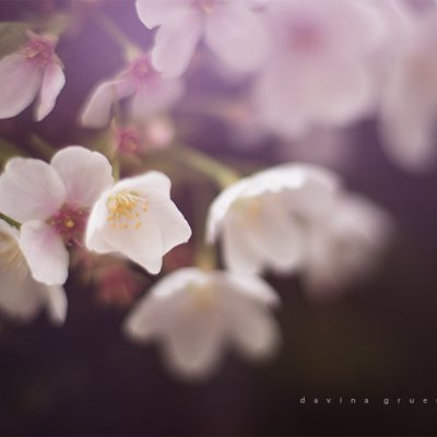 davinagruenstein_freelensed_cherry_blossoms