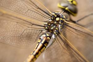 Dragonflyw
