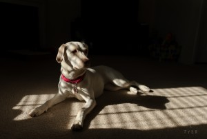 a labrador in light and shadow