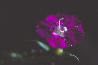 purple macro flower tiffany kelly