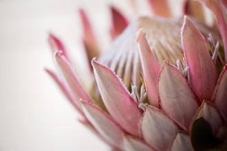 Hawaiian-protea-pink-flower-allison-gipson