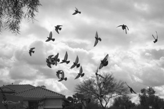 birds-flying-through-neighborhood-black-and-white-film-kodak-tri-x-400-by-eileen-critchley