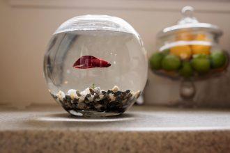 beta-fish-fish-bowl-allison-gipson