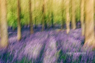 Ashridge_Bluebells