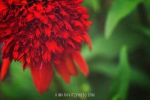 Downtown Bentonville Arkansas Red Flowers In Bloom by Kim Kravitz