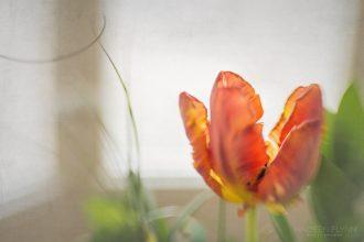 Orange-Frilly-Tulip-nadeen-flynn