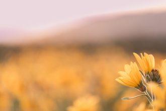 Yellow-Wildflowers-Rowena-nadeen-flynn