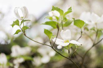 dogwood blossoms by Nadeen Flynn