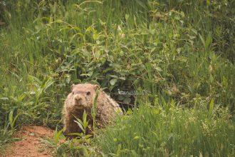 groundhog gaggle photography dp