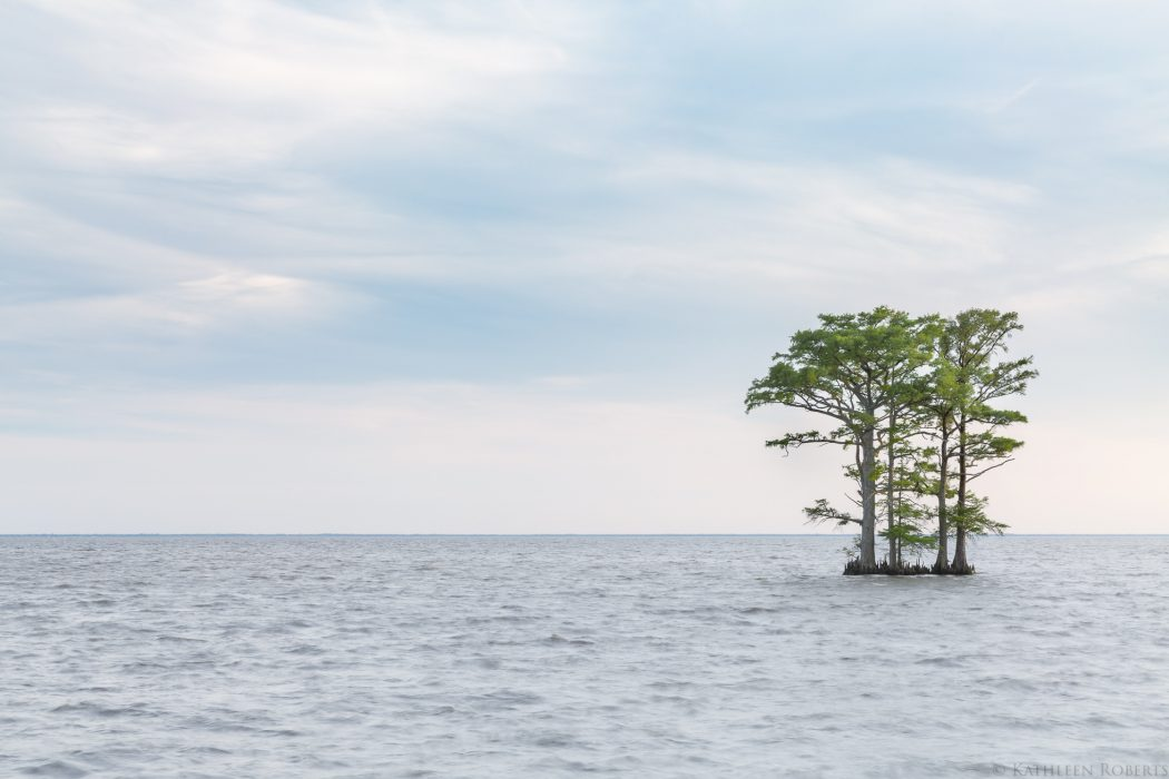 kathyroberts_kathleen-roberts-edenton-nc-bay-cypress-trees