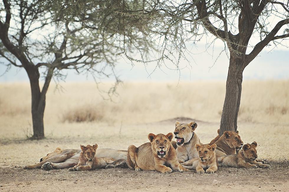 Lion pride in the Serengetti