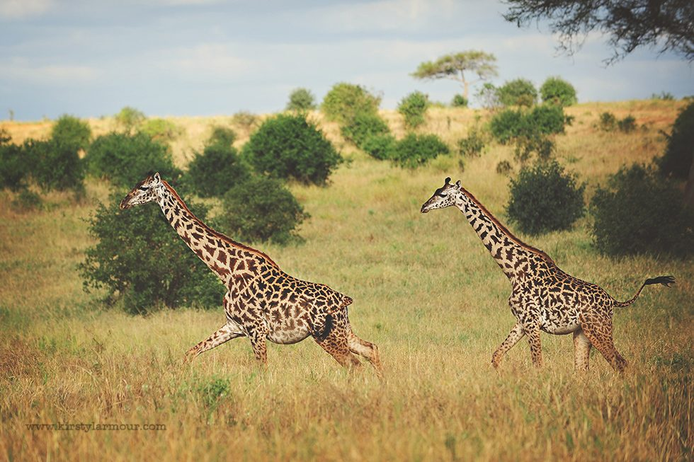Giraffes on a Tanzanian Safari