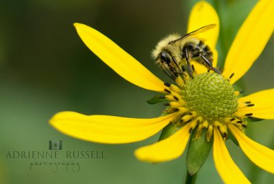 Nashville Family Photographer, Adrienne Russell Photography, Bees, Buzz, Balsam Mountain, Smokey Mountains