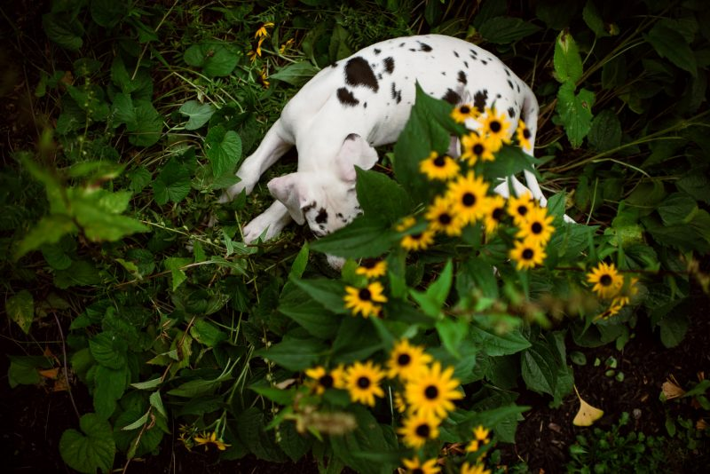 Harlequin-Great-Dane-Puppy-Playing-in-Garden-by-Sarah-Wilkerson-9420