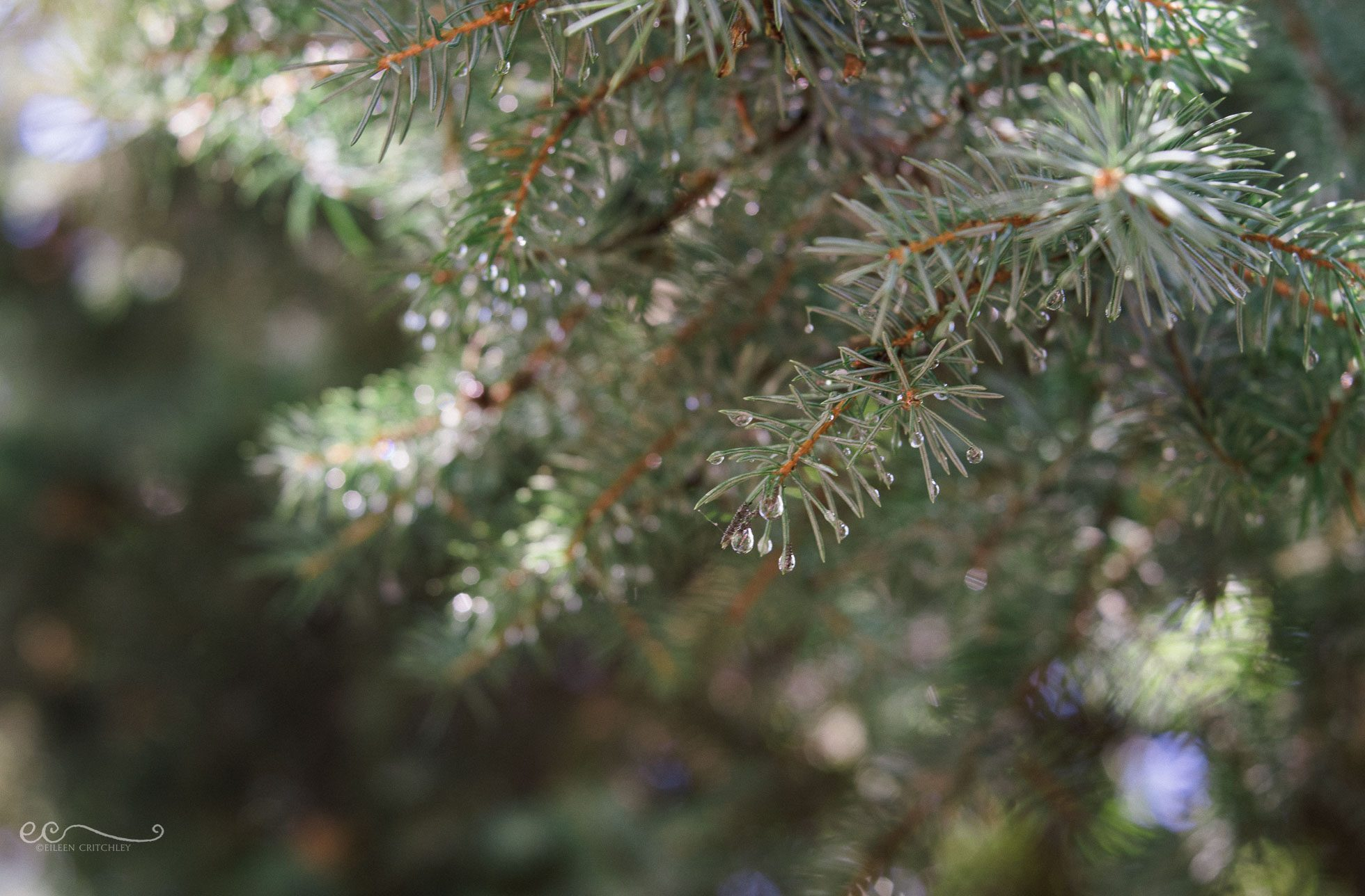 evergreen water droplets lensbaby love velvet 56 | %22evergreen%22_by Eileen Critchley