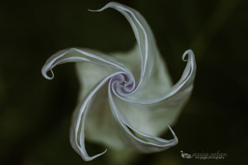 moon flower night lily