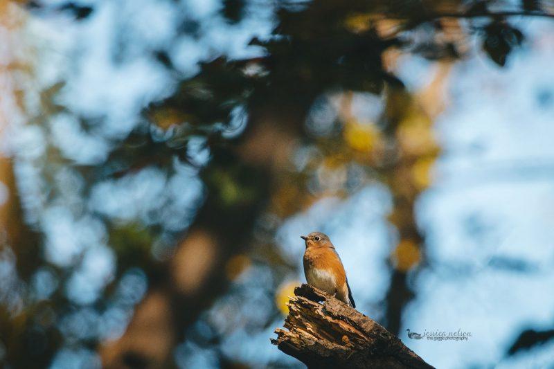 bluebird-dp