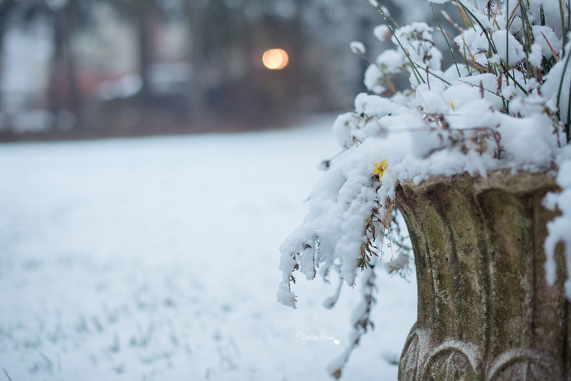 melisa renee photograpy, snowy day, yellow flower,