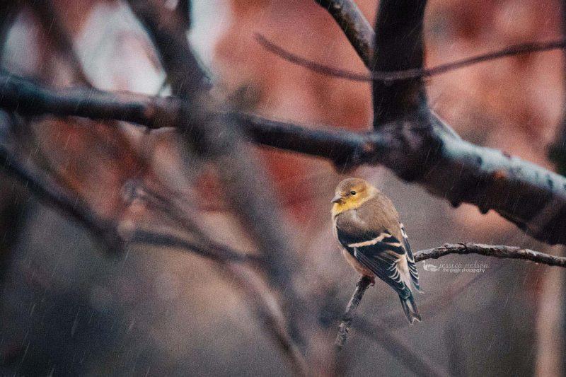goldfinch jessica nelson