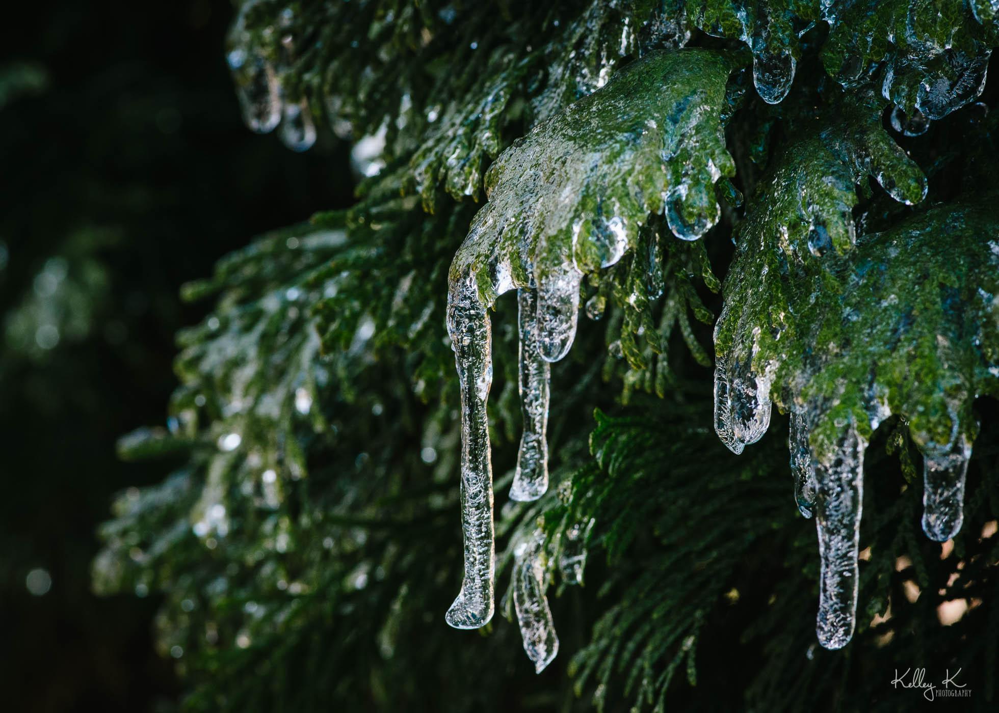 icicles-on-evergreen-by-KelleyKPhotography-Smyrna