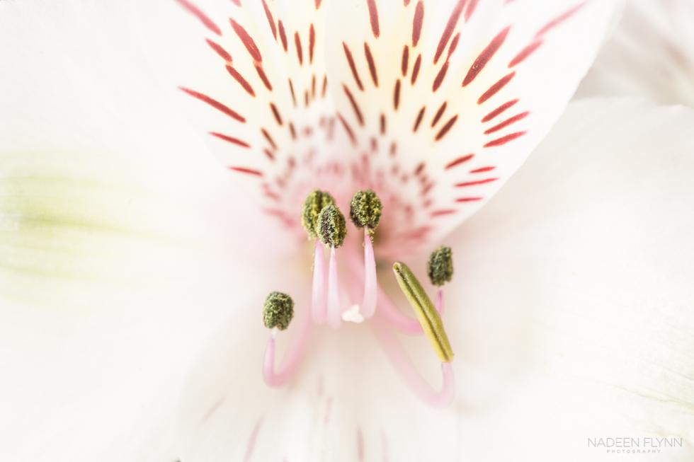 Alstroemeria Up Close by Nadeen Flynn