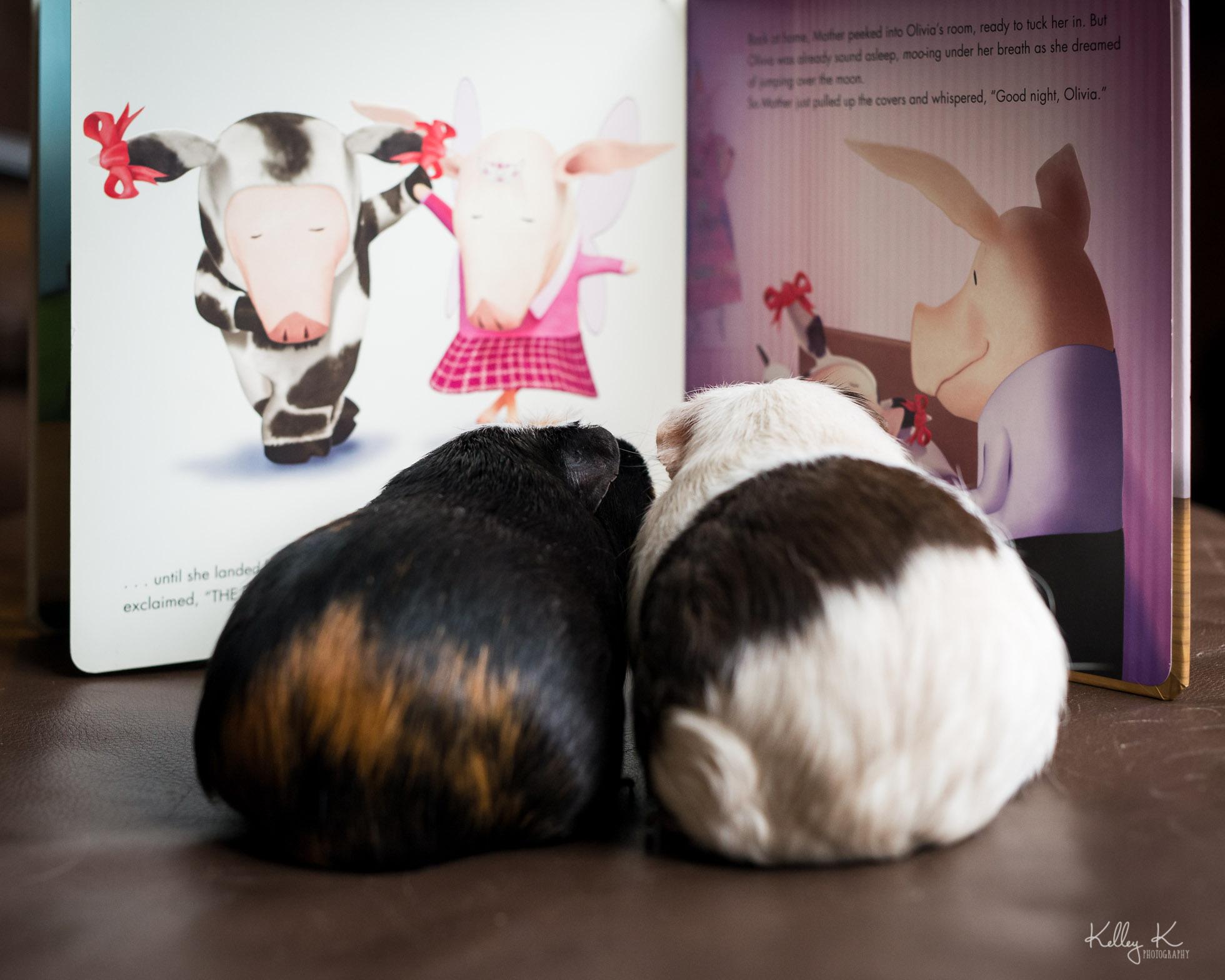 guinea-pigs-reading-book-by-KelleyKPhotography-Smyrna