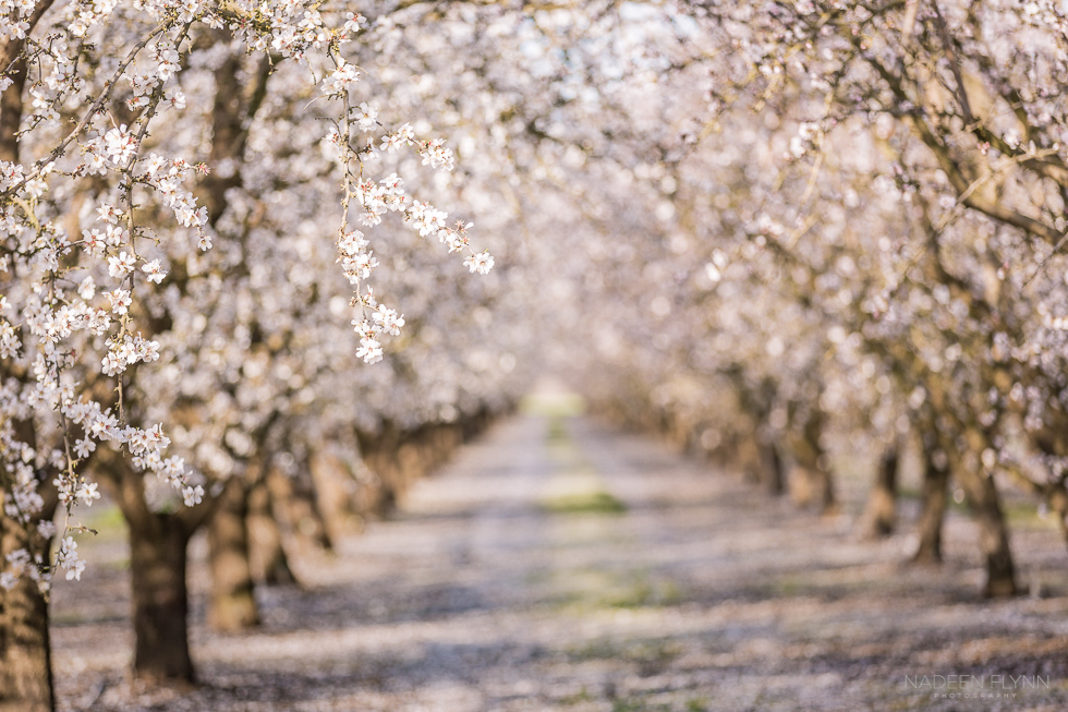 almond orchard in full blossom almonds