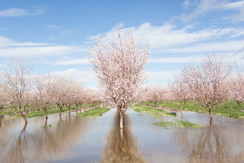 spring blossoming almond trees in flooded field blue sky with clouds
