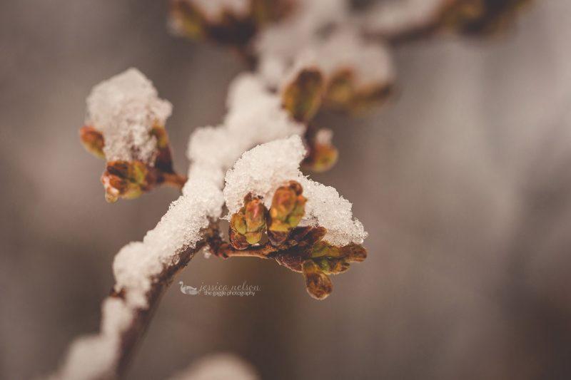 cherry buds snow