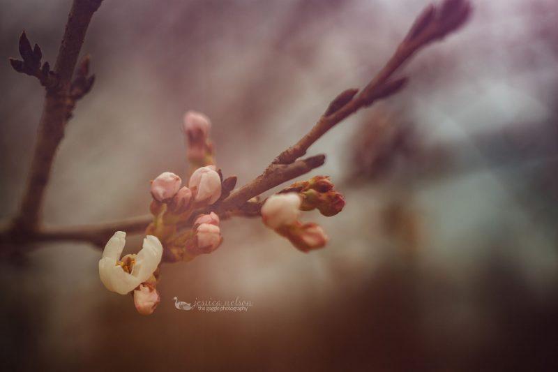 cherry blossoms macro
