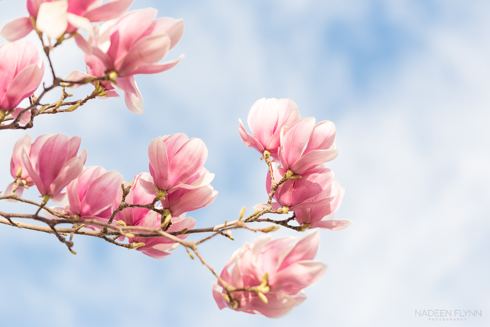 pink tulip tree blossoms against blue cloudy sky