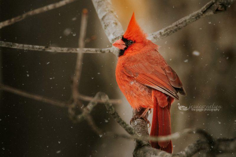 cardinal male jessica nelson