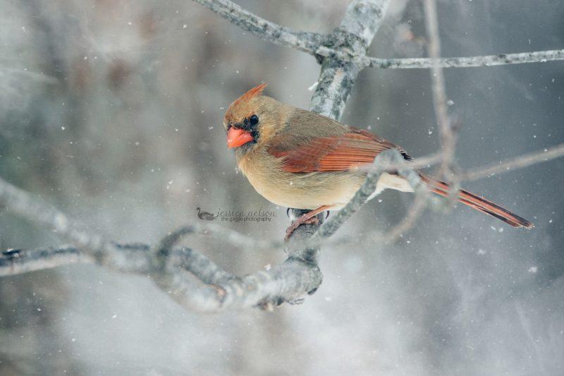 female cardinal jessica nelson