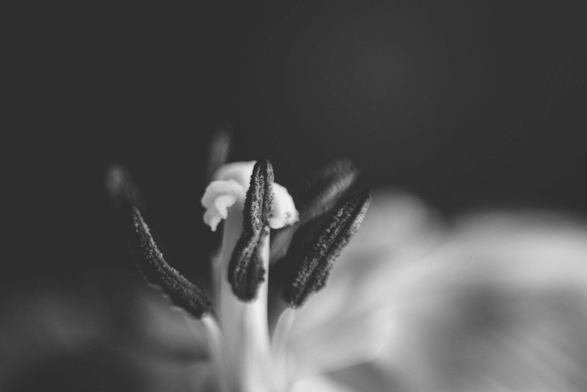 tulip black white macro tiffany kelly