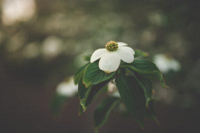 dogwood flower tiffany kelly easter