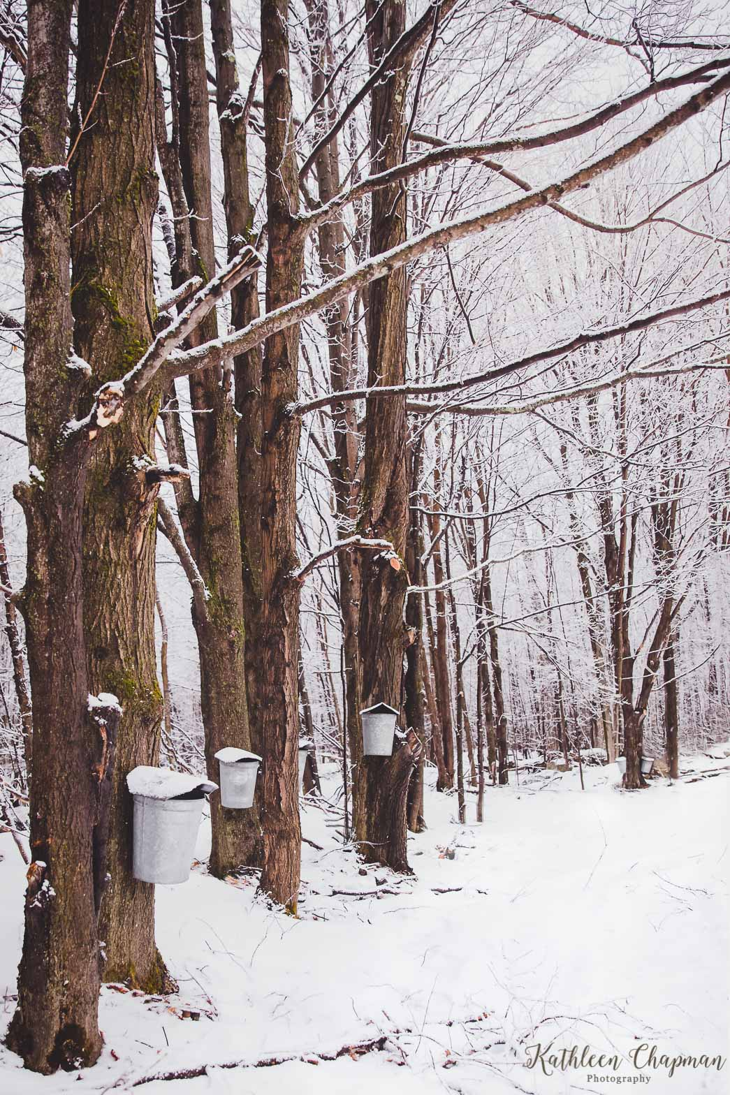 Amazing Fact It Takes About 40 Gallons Of Sap To Make 1 Gallon Maple Syrup