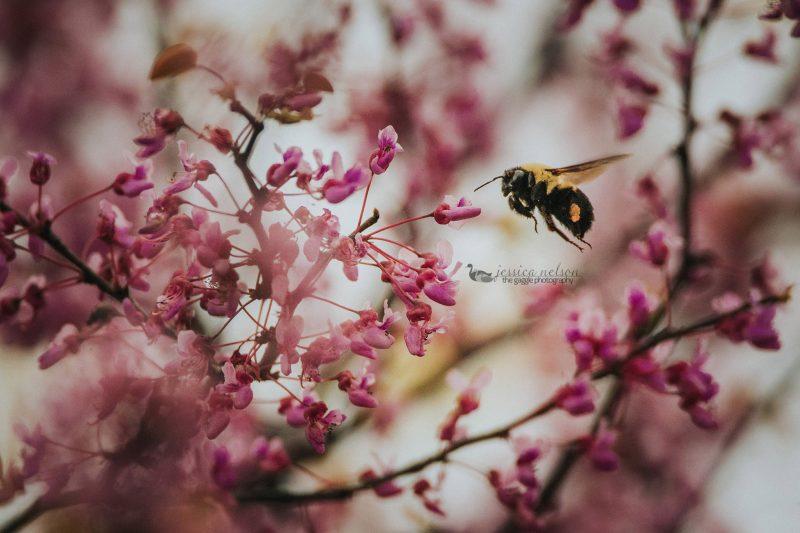 bumble bee redbud