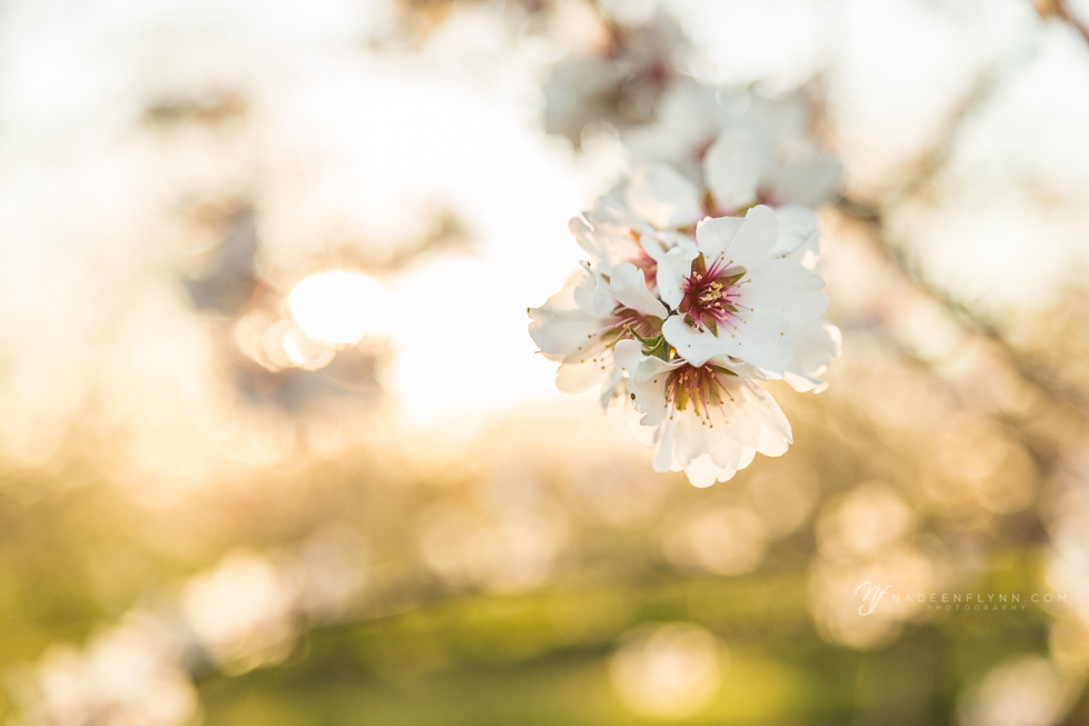 orchard stillness blossom with background bokeh