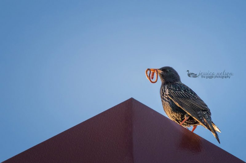 starling with food