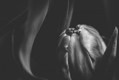 tulip macro tiffany kelly