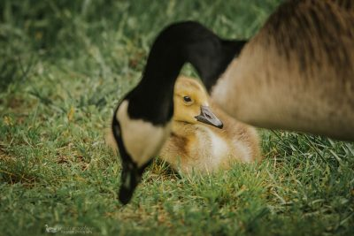 gosling and mama