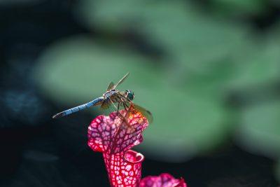 macro dragonfly tiffany kelly
