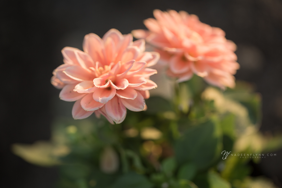 peach colored dahlia in morning light