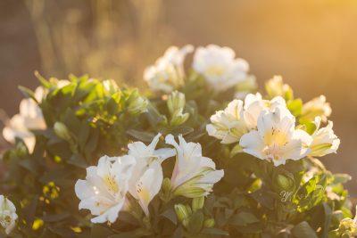 golden light shining on white alstroemeria