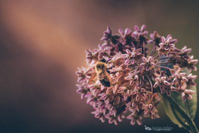 bumble bee milkweed