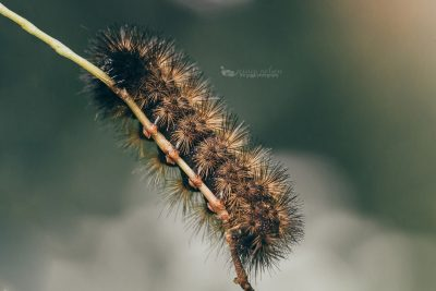serenity project jessica nelson woolly caterpillar