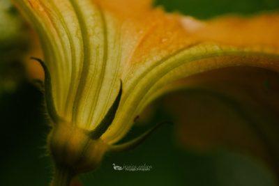squash flower macro