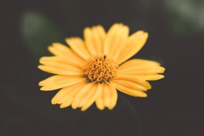 yellow flower macro tiffany kelly