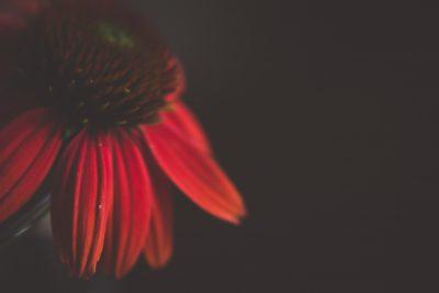 red conefloer macro flower tiffany kelly